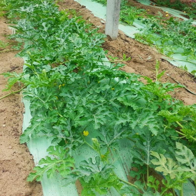 Görögdinnye ültetvény