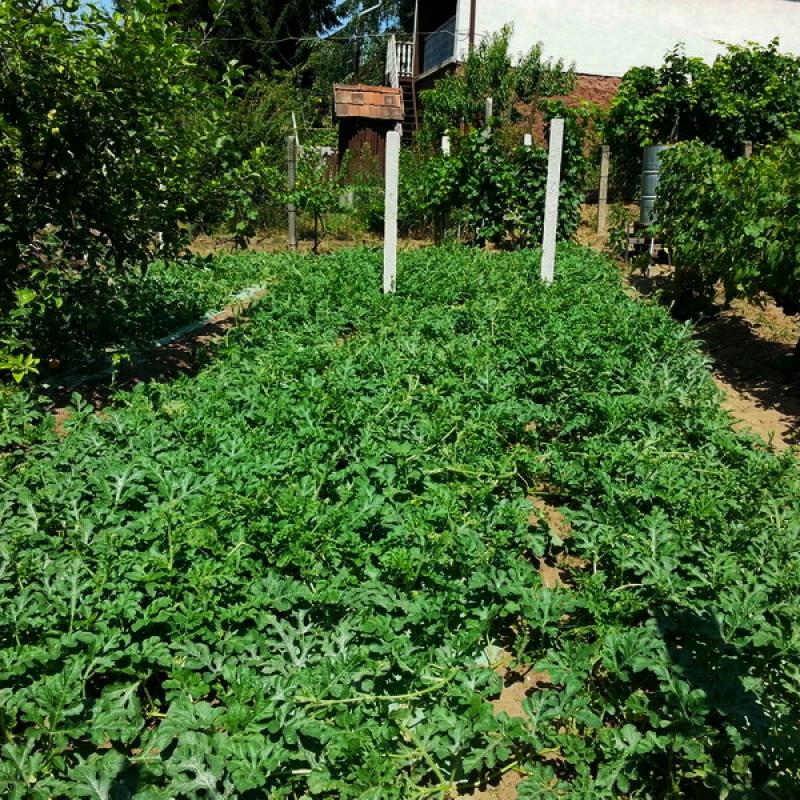 Görögdinnye kertészet - Erdőkertes, topolyás dűlő