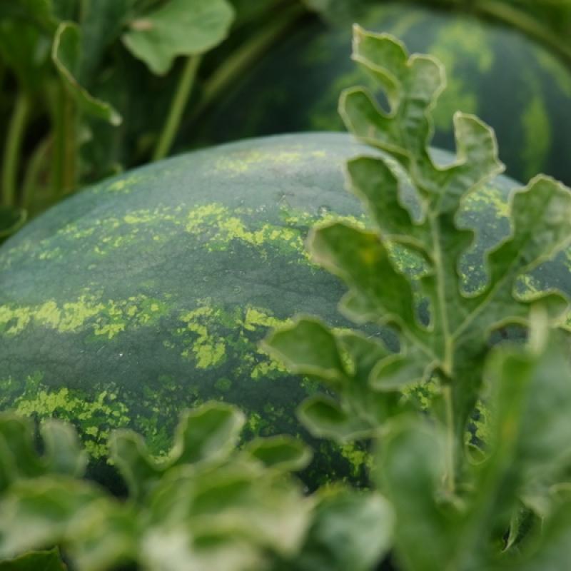 Csíkos hevesi mézédes görögdinnye