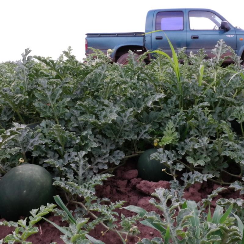 Red Star görögdinnye ültetvény