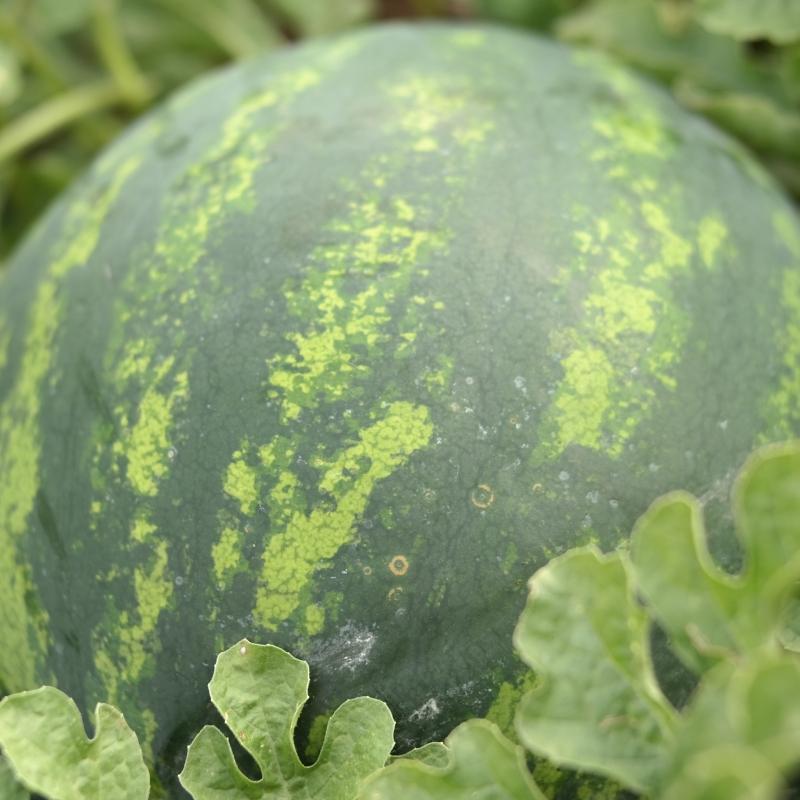 WDL 9807 csíkos görögdinnye